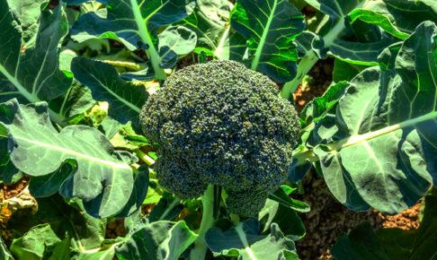 ブロッコリーの育て方・栽培方法
