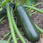ズッキーニの育て方・栽培方法