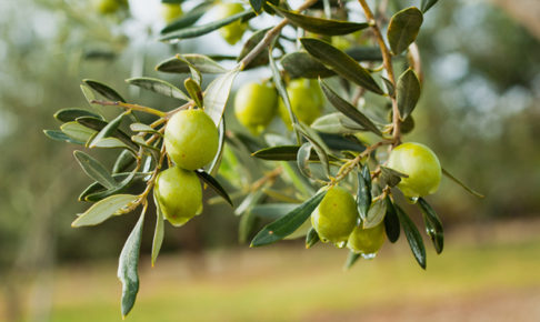 オリーブの育て方・栽培方法
