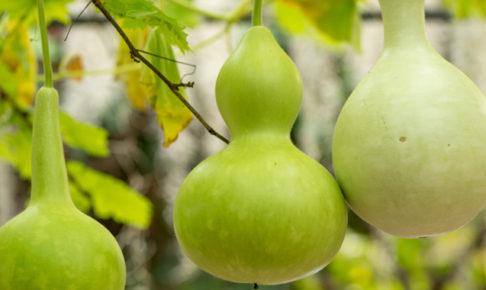 ひょうたん(ヒョウタン)の育て方・栽培方法