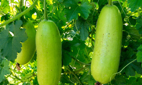 トウガン(冬瓜)の育て方・栽培方法