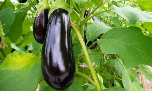 ナス(茄子)の育て方・栽培方法