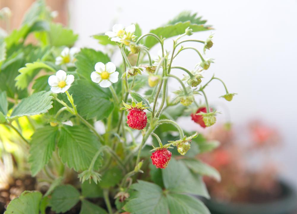イチゴ栽培