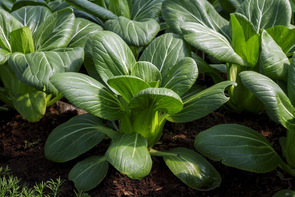 チンゲン菜の栽培