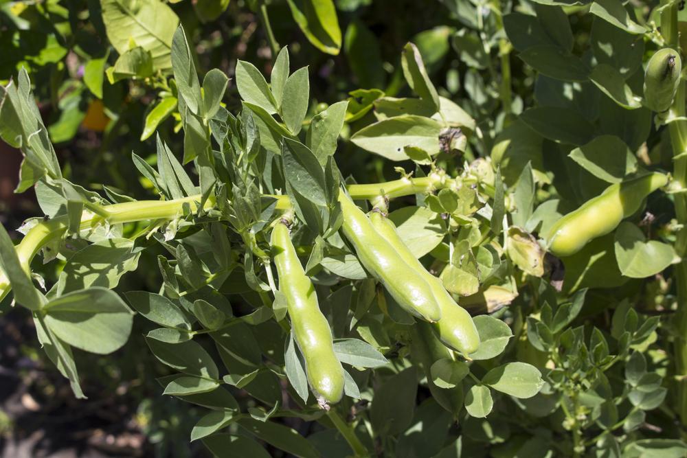 そら豆栽培