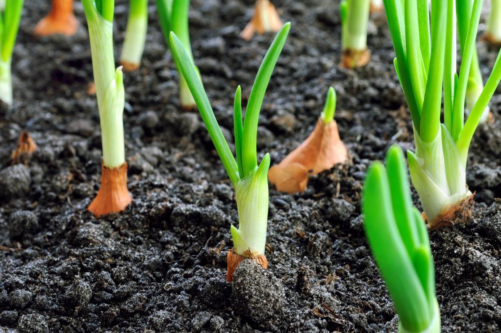 玉ねぎの栽培