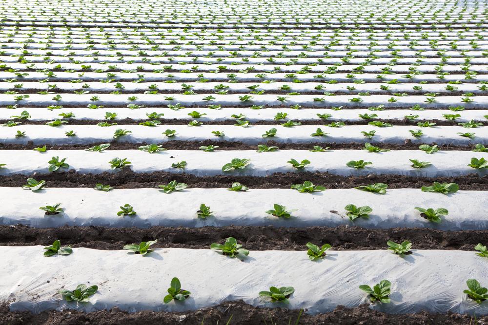 小松菜の畑