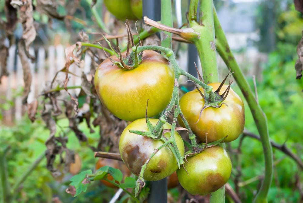 トマトの病気と害虫