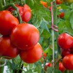 トマトの実が割れる