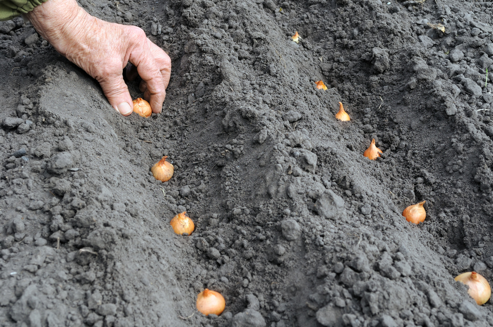 玉ねぎの育て方