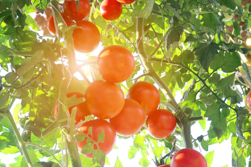 トマトにあたる直射日光