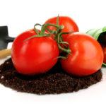 トマトの後作
