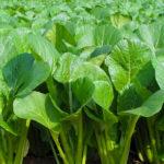 小松菜(コマツナ)の育て方・栽培方法
