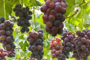 ぶどう(ブドウ・葡萄)の育て方・栽培方法