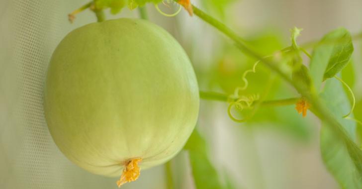 プリンスメロンの栽培方法