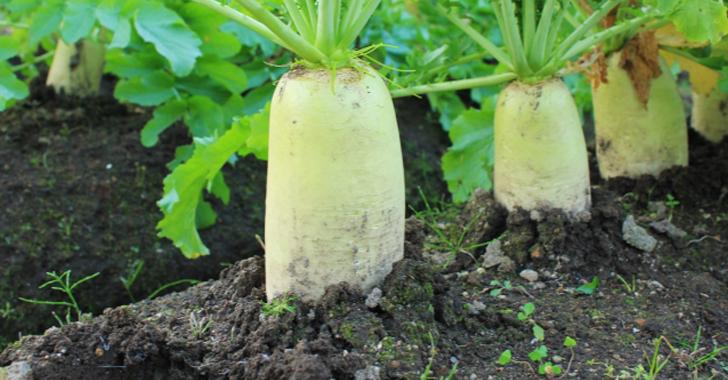 大根の土壌