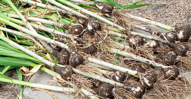 ニンニクの収穫時期