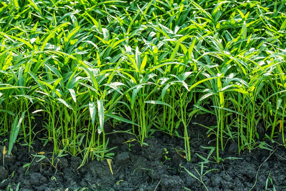 空芯菜栽培の畑