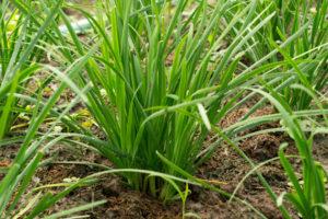 ニラの育て方・栽培方法