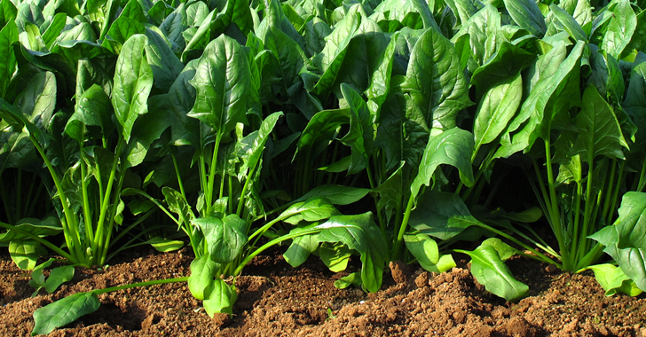 ホウレンソウ(ほうれん草)の育て方・栽培方法