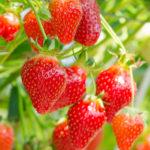 イチゴの育て方・栽培方法