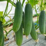 キュウリの育て方・栽培方法