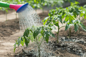 トマトの水やり