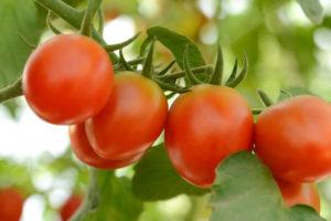 トマト(とまと)の育て方・栽培方法