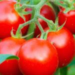 トマトの実