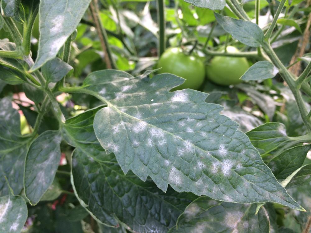 トマトのうどんこ病の葉っぱ