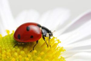 テントウムシは害虫か益虫か