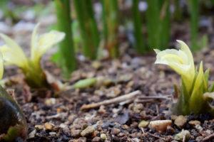 ミョウガの後作に植えても良い野菜とは?