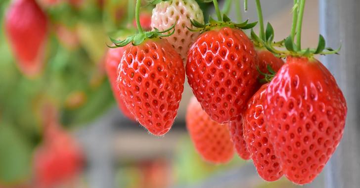 赤く実ったイチゴ