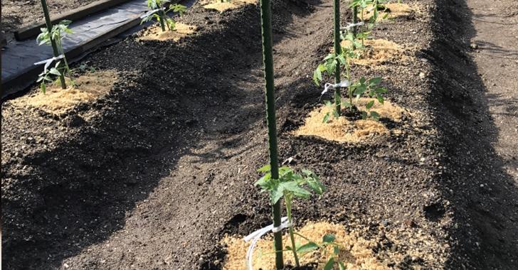 トマト畑の高畝