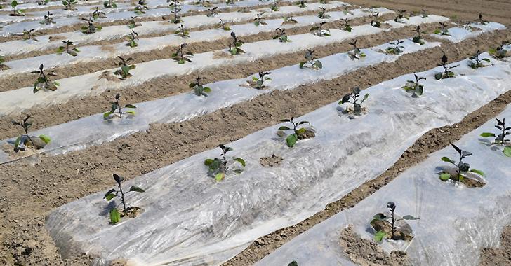 ナスの苗を植えている畑