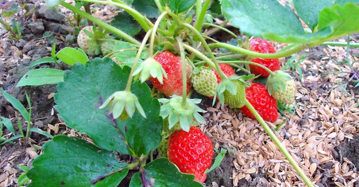 イチゴの収穫時期