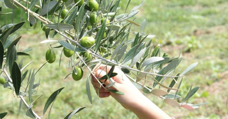 オリーブの収穫方法