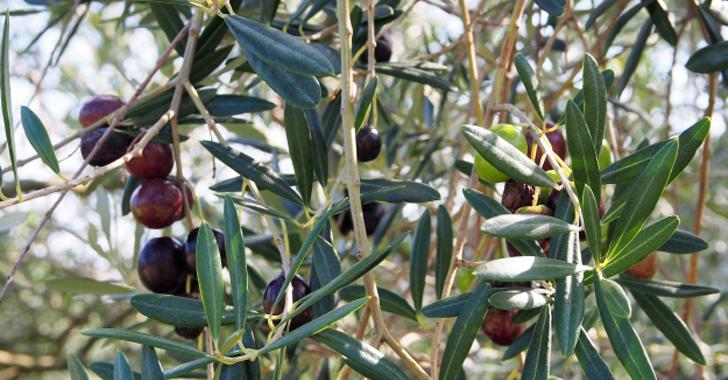 オリーブの収穫時期