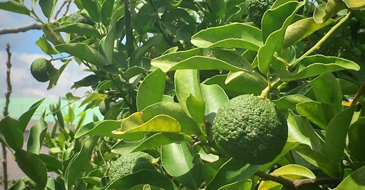 カボスの収穫タイミング