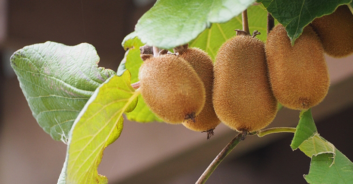 キウイフルーツの収穫について