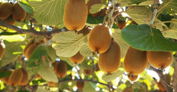 キウイフルーツの収穫時期