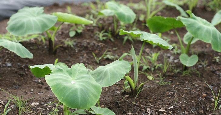 サトイモの梅雨時の水やり頻度