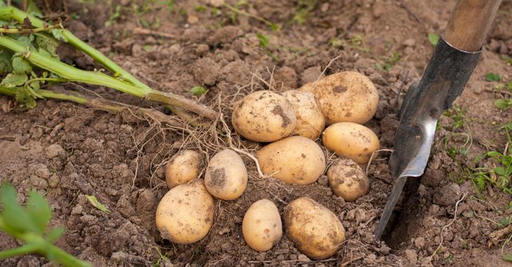 ジャガイモの収穫方法