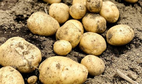 ジャガイモ収穫時期の見極め方は?