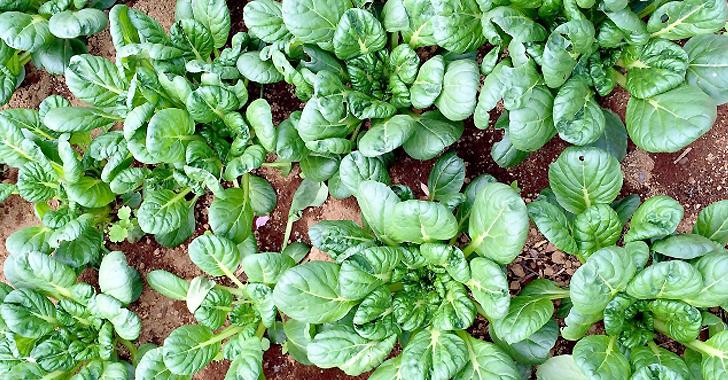チンゲン菜の収穫時期