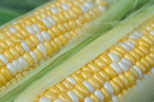 トウモロコシの収穫時期と収穫方法は?