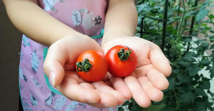 トマトの収穫する女の子