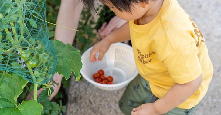 トマトの収穫をする男の子