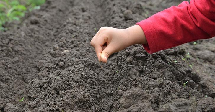 ニンジンの種まきをする子供