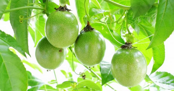 パッションフルーツの収穫時期